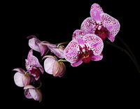 Flowers of a lilac orchid on black background