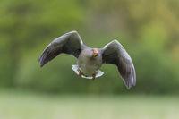 Greylag Goose flying, Anser anser, Graugans im Flug