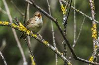 European reed warbler (Acrosephalus scirpaceus)