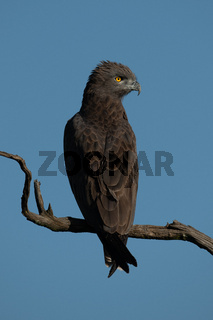Brown snake-eagle on dead tree turning head