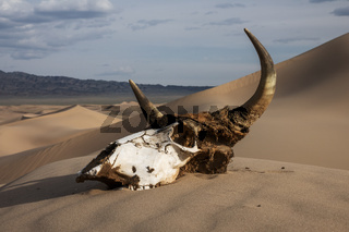 Bull skull in the sand desert at sunset