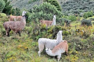 Alpakas unterwegs in den Anden von Ecuador