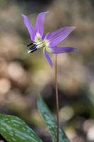 Dogtooth violet (Erythronium dens-canis),