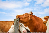 cow rests her head on a post