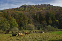 Grazing cows at the ruin Hohenurach, swabian alb, germany