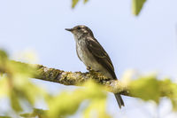 Spotted Flycatcher (Musciapa striata)