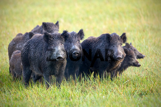 A herd of wild boars on a meadow with grass wet from dew.
