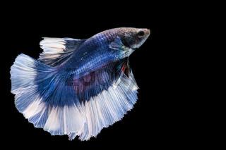 Blue and white betta fish