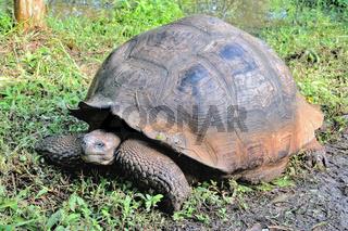 Galapagos Schildkröte von der Insel Isabella