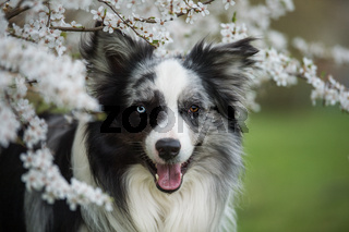 Border collie dog with white blossom branches