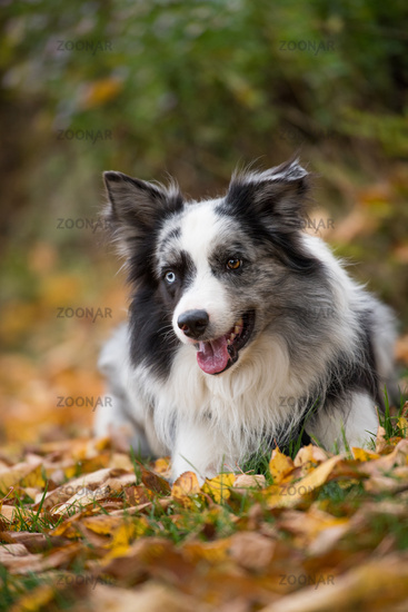 Border collie dog lying in autumn leaves