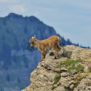 Master climber alpine ibex. Just a few months old and already climbing in the steepest cliffs. Mount Niederhorn.