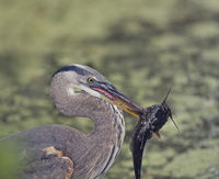 Grat Blue Heron with a large fish