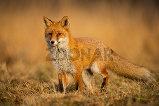 Adult fox with clear blurred background at sunset.