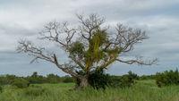 Afrikanischer Affenbrotbaum in einem Nationalpark in Südafrika