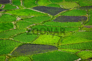 Green fields close up, India