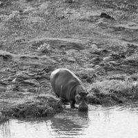 Flusspferde in Afrika