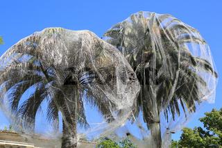 Madrid, Botanischer Garten, Kanarische Dattelpalme, Schutz vor Palmenschädling Paysandisia archon