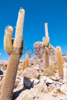 Bolivia Uyuni cactus of Incahuasi island