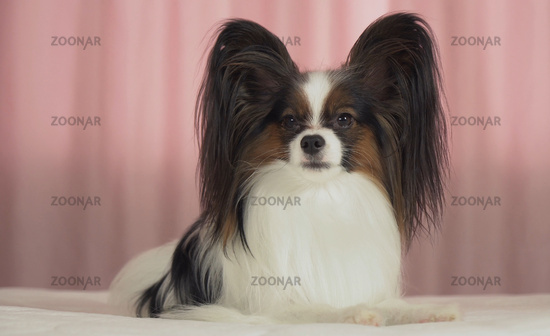 Beautiful dog Papillon lies on bed and looks around