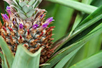 Close Up of Pineapple Plant, Azores, Portugal