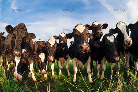 herd of cows on pasture over blue sky