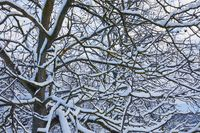 Tree branches with fresh snow