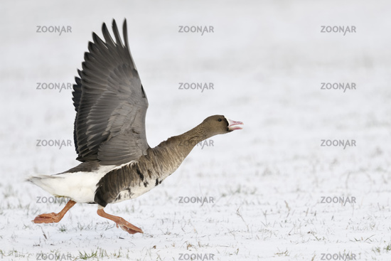 Greater White-fronted Goose * Anser albifrons * in winter, taking off, running for take off