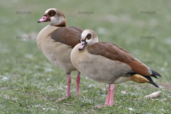 Egyptian Geese * Alopochen aegyptiacus * pair, couple in winter, invasive species