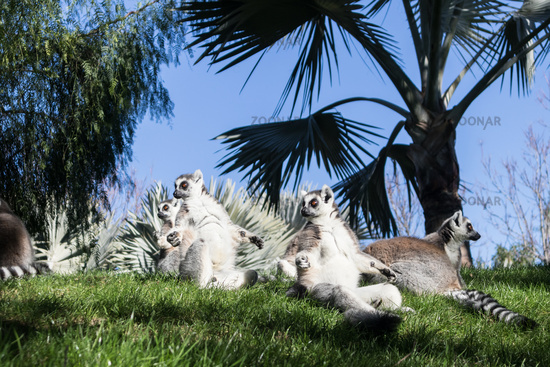 Family of lemurs sunbathing on the grass. The ring tailed lemur, Lemur catta, is a large strepsirrhine primate and the most recognized lemur due to its long, black and white ringed tail