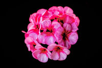 Close up of a beautiful isolated pink Geranium flower ball with a black background