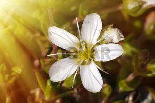 Delicate white velvety flower opens to the sun