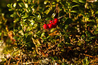 wild berries in the forest