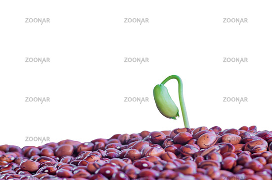 Sprouting a young bean plant, green beans. Spring germination of seeds. Closeup. Isolated on a white