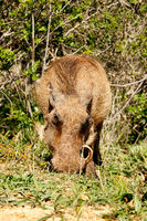Warthog scratching in the ground