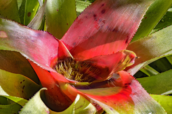 Bromeliad leave native to the Brazilian rain forest