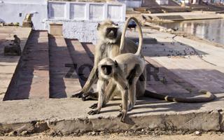 Indischen Languren  - Semnopithecus - Hanuman Languren