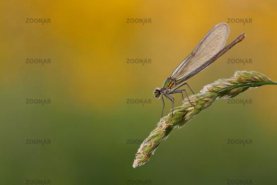 hunting Calopterygidae
