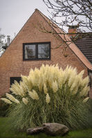 White Pampas grass - House in Schleswig-Holstein