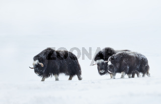 Musk Oxen in snowy mountains during cold winter