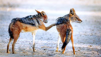 black-backed jackals, Kgalagadi Transfrontier National Park, South Africa, (Canis mesomelas)
