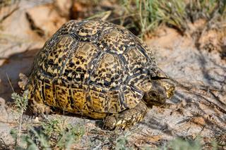 turtle leopard tortoise, South Africa wildlife