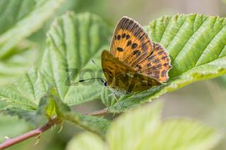 Dukaten-Feuerfalter Weibchen, Lycaena virgaureae, Female Scarce Copper