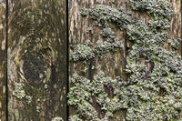 weathered wooden wall with lichen