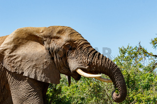 Elephant standing with his trunk curling