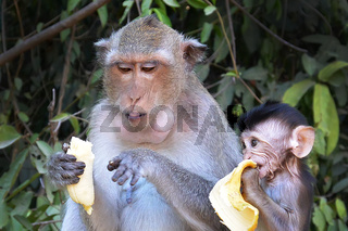 Monkey mother teaches baby to eat banana