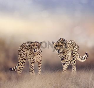 Cheetahs in the grassland