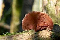 Judas ear (Auricularia auricula-judae) on a dead tree trunk in the forest