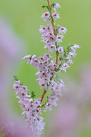 Moorland herb
