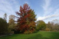 Autumn mood in the spa park - Japanese cedar, Japanese Redwood or Sugi (Cryptomeria japonica)